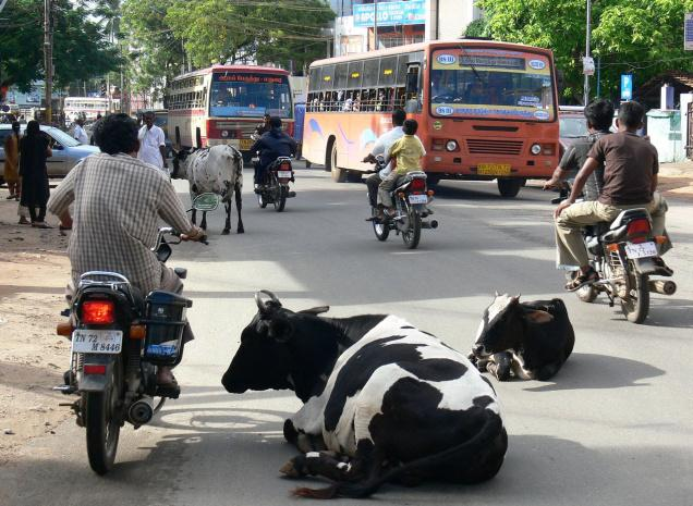 Stray Cows in India [Photo Credit: www.thehindu.com]